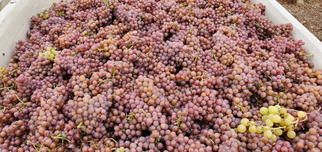 Thousands of freshly picked red grapes in a bin.
